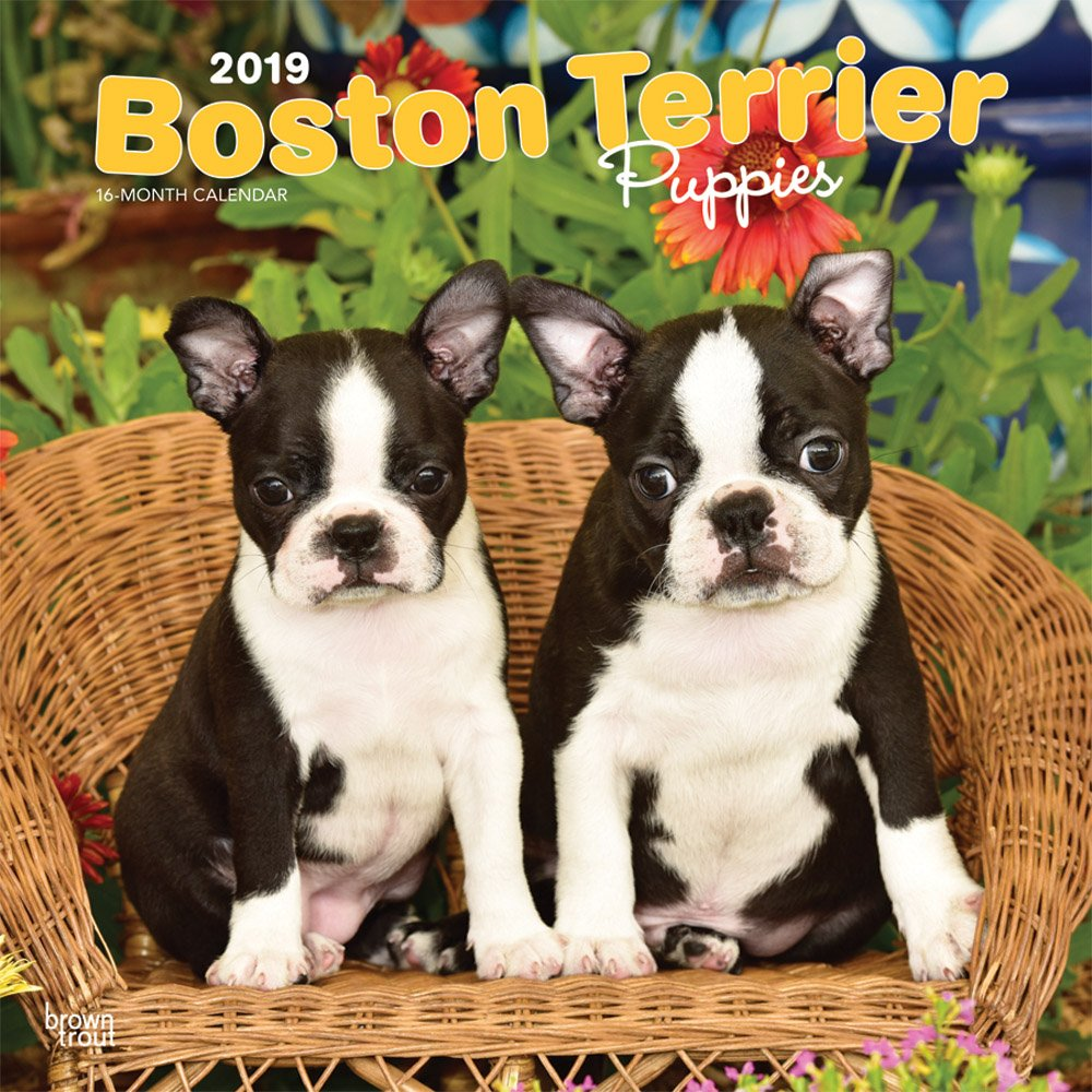Read Online Boston Terrier Puppies 2019 12 x 12 Inch Monthly Square Wall Calendar, Animals Dog Breeds Terrier Puppies (English, French and Spanish Edition) pdf