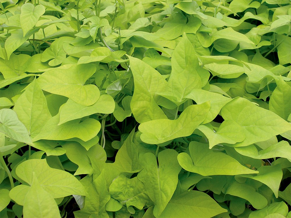 AMERICAN PLANT EXCHANGE Sweet Potato Vine Live Plant, 6'' Pot, Desana Lime by AMERICAN PLANT EXCHANGE