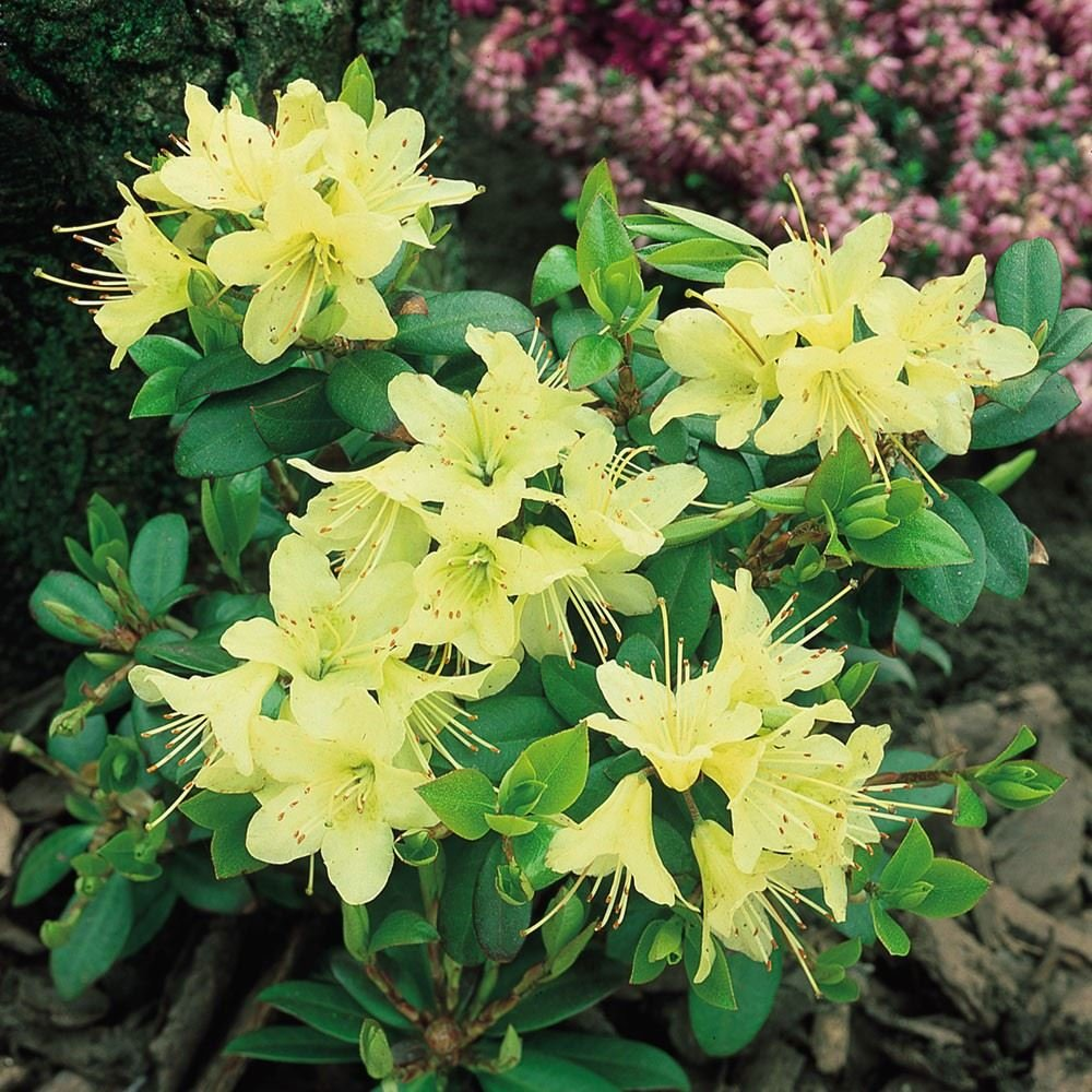 9cm Pot Dwarf Rhododendron Princess Anne AGM Yellow Flowers Garden Shrub Plant B&R Direct (UK) Ltd
