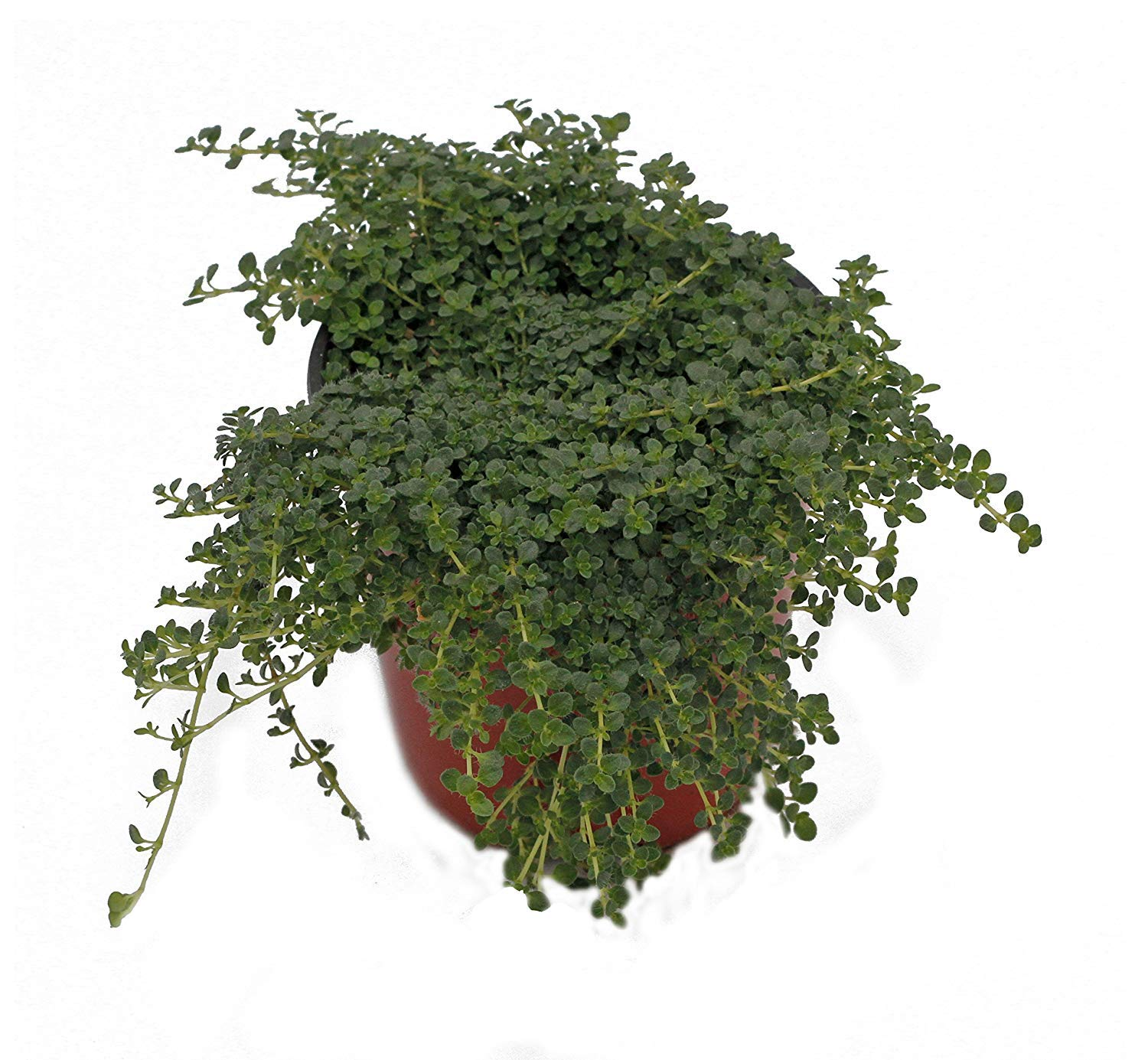 Thyme 'Elfin' Herb Plant (Pack of 12) by Dutch Country Classics (Image #1)