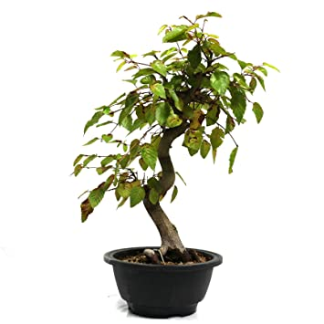 Carpe coreano, Carpinus coreana, bonsái para exterior, 13 años, altura 27 cm