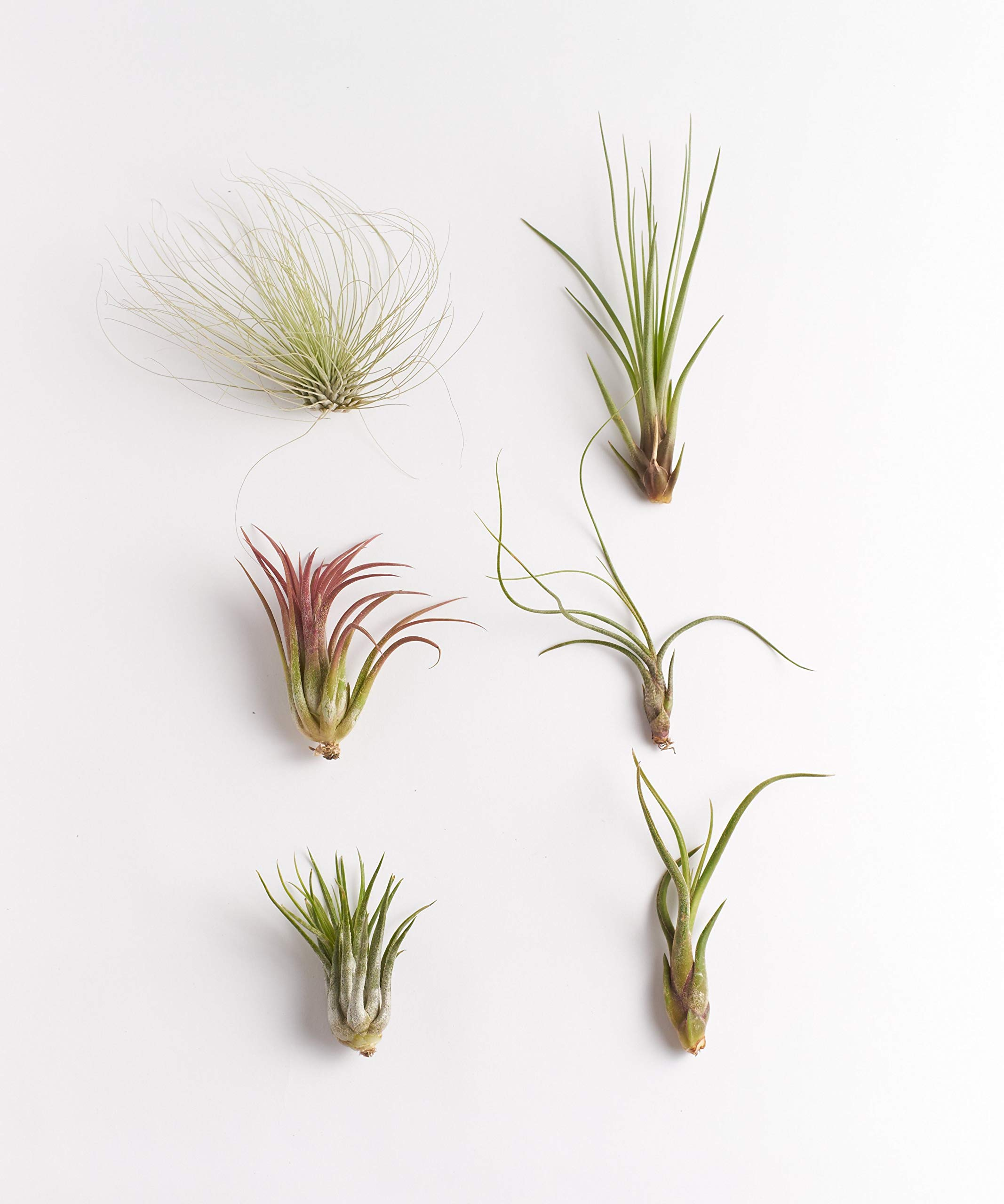 Shop Succulents | Unique Live Air Plants Hand Selected Variety of Different Species | | Collection of 6, 6