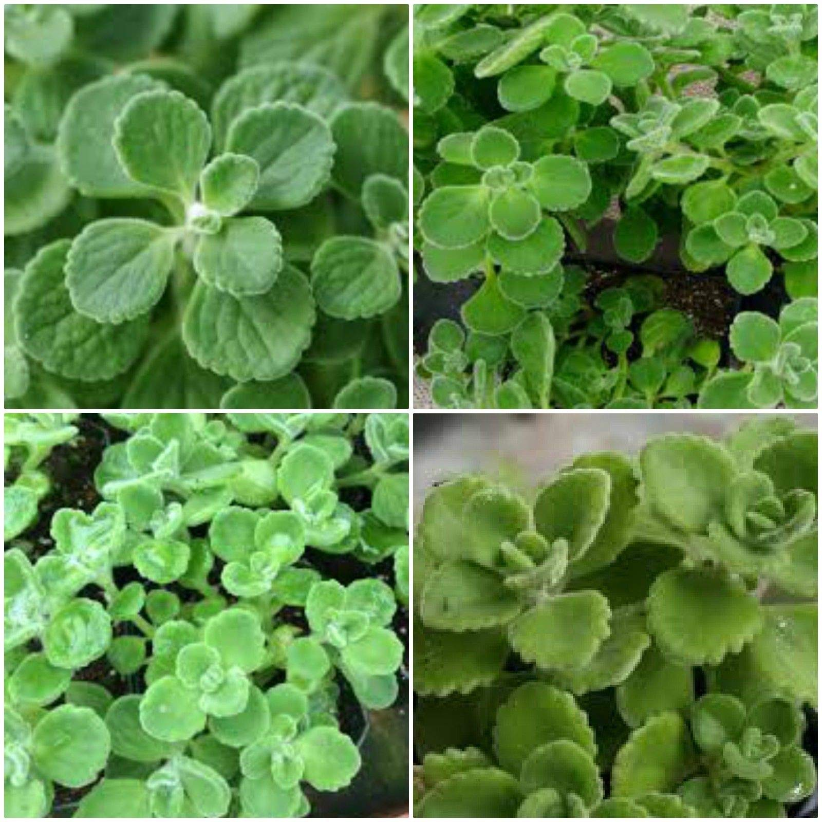 5-7'' Tall Vicks Plants Plectranthus Tomentosa Scented Herb Easy Care Live Plant Get 2