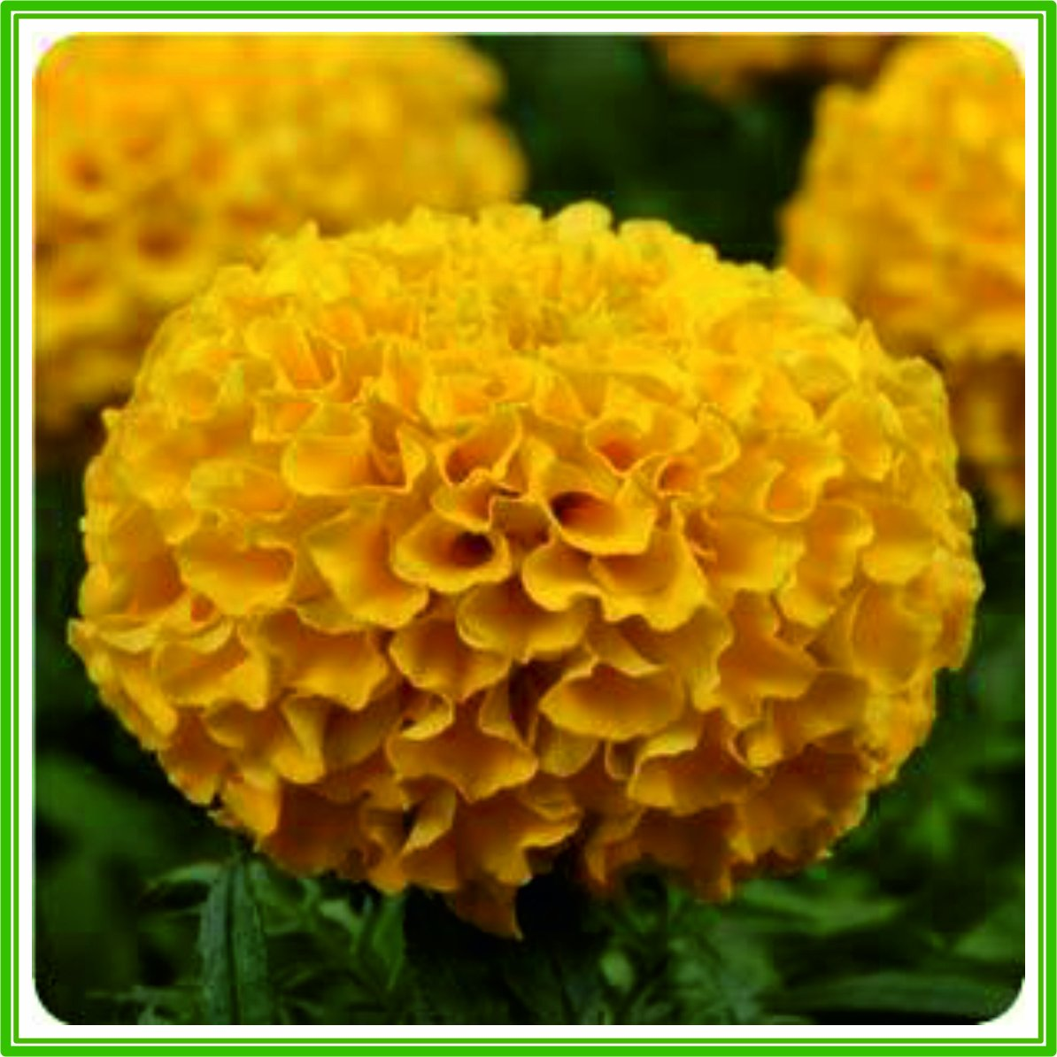 Taishan Series Orange Seed American AJP Marigold