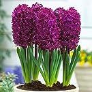 Taylors Bulbs Hyacinth 'Woodstock' - 8 bulbs per pack