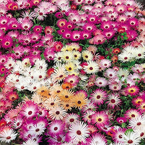 8000+ICE PLANT MIX Seeds Livingston Daisy Rock Gardens Ground Cover Reseeds - Medium Garden Cover Rock