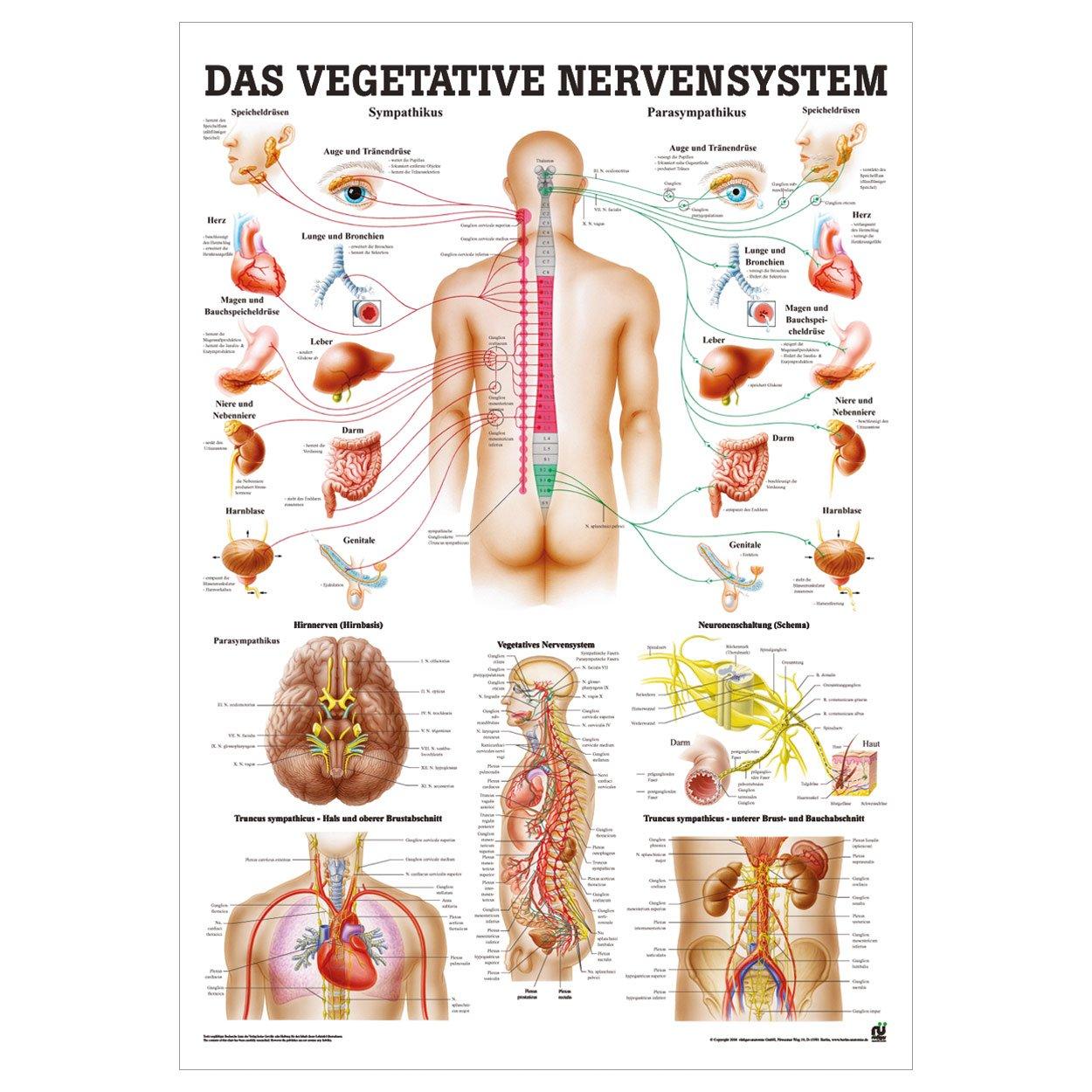 Vegetatives Nervensystem Mini-Poster Anatomie 34x24 cm med ...