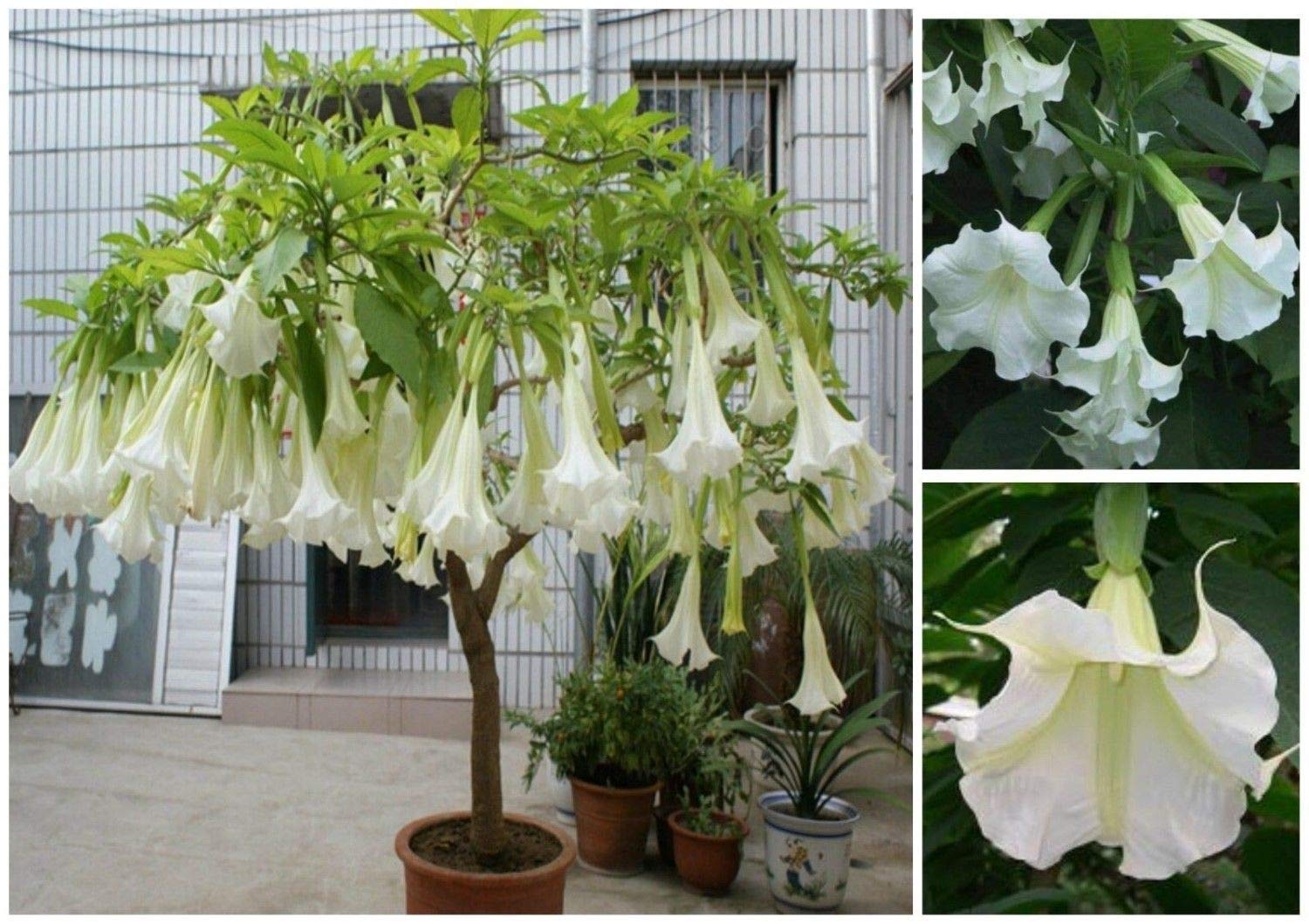 Giant White Brugmansia Angel Trumpet Live Plant 4-6 inches Tall, Shipped in Pot