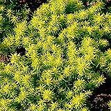 """Angelina Sedum - Stonecrop - Proven Winner - 4 Plants - 1 3/4"""" Pots"""