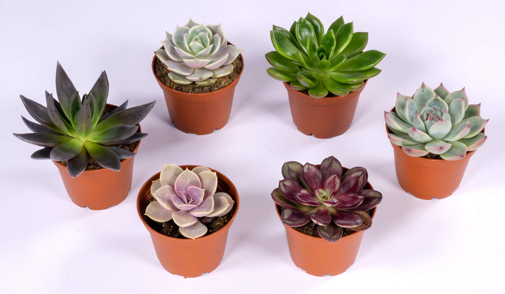 Seville Farms SUC012 Succulent Plant 6 Pack - 2.5'' Fuly Rooted, Potted with Soil Mini, Multicolor