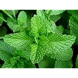 Creative Farmer Herb Seeds For Home Garden - Hybrid Mint/Pudina Seeds Kitchen Garden Pack