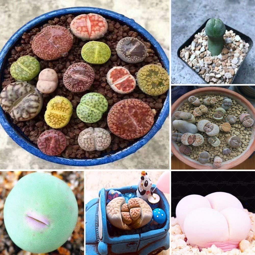 Nukana 100 Pcs Lithops Pseudotruncatella Graines Dasktop Vert Plantes Rare Pierre en Pot Succulentes M/élange Graines