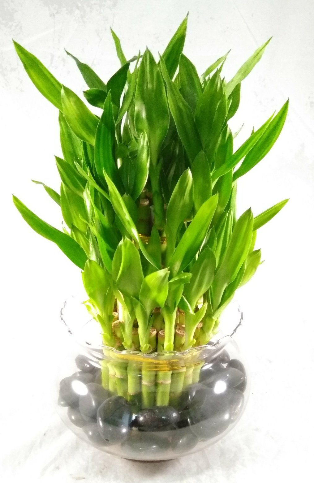 Jmbamboo- Lucky Bamboo - Tiered - Arrangement Arrives with Rocks, Vase