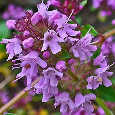 CREEPING THYME PURPLE 1000 SEEDS GROUNDCOVER Lawn Drought Arid Herb Edible USA : Garden & Outdoor