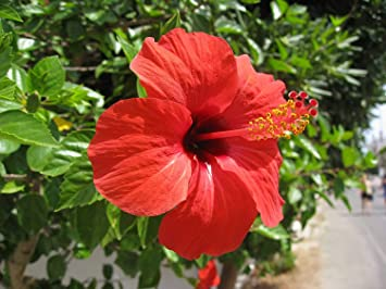 Buy Siam Garden Red Hibiscus Live Flower Plant Online At Low Prices