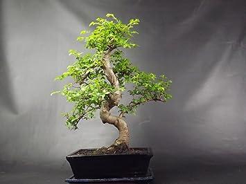 Muy Grande Olmo Chino S Baúl árbol bonsái 50-55 cm en olla de cerámica