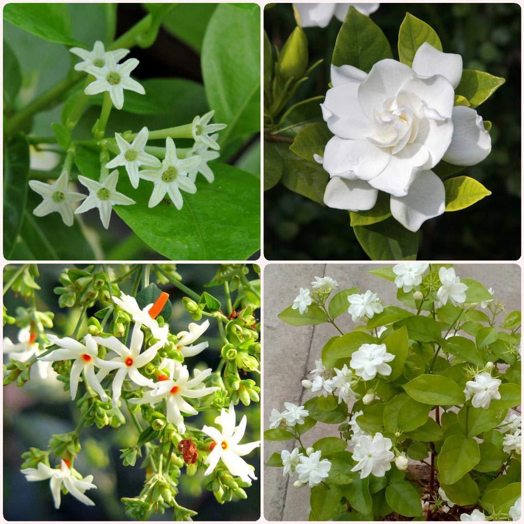 4 jasmine flower plant combo 1 parijat parijatak harshringar 4 jasmine flower plant combo 1 parijat parijatak harshringar plant 1 jasminum sambac mogra arabian jasmine plant 1 gardenia dwarf ananta dwarf izmirmasajfo