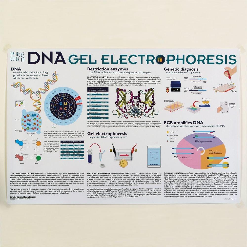 Amazon.com: Gel de ADN electroforesis Póster: Industrial ...