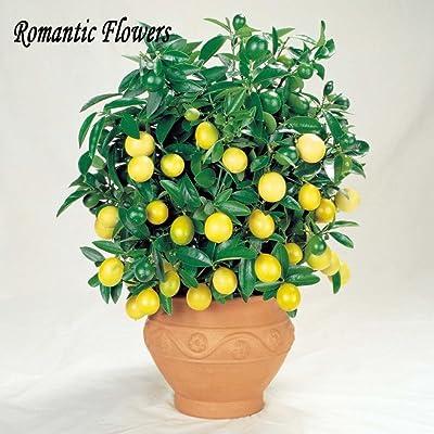 50 Seeds / Pack, Lemon Seeds, Indoor Outdoor Bonsai Seeds, Edible Yellow Lemon Tree Seeds, Organic Food : Garden & Outdoor