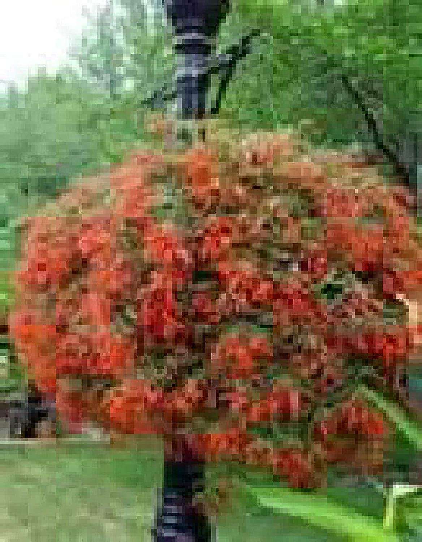 Portal Cool > Begonia boliviensis - Bonfire - Bright Red/Arancio Fiori - 20 + Semi Wide Spread