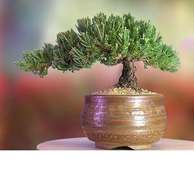 A Bonsai Juniper 6 to 7 Year Old Tree in Han-Kengai Cup Garden Home Live Plant: Garden & Outdoor