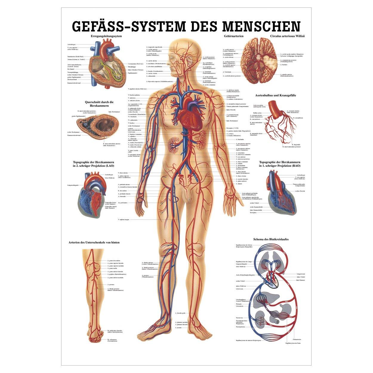 Wunderbar Anatomie Des Verkehrs Beim Menschen Bilder - Anatomie Von ...