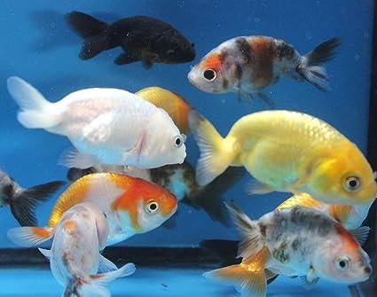 Amazon Com Ranchu 5 Pack Live Sm Mixed Goldfish For Aquarium Fish