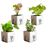 Rolling Nature Combo of Good Luck Air Purifying Live Money Plant Golden Pothos Syngonium Pink and Jade in White Square Aroez Ceramic Pot