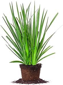 White African IRIS - Size: 1 Gallon, Live Plant, Includes Special Blend Fertilizer & Planting Guide