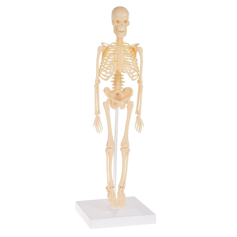 Amazon Hey Play Human Skeleton Model Kit On Base 1325 Kids