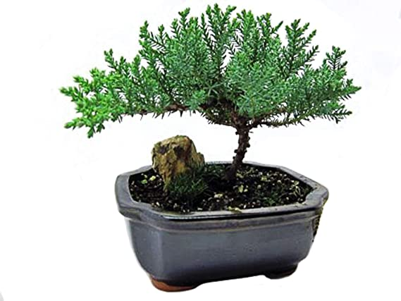 Amazon Com 9greenbox Japanese Juniper Bonsai Tree With Fertilizer Live Indoor Bonsai Plants Grocery Gourmet Food