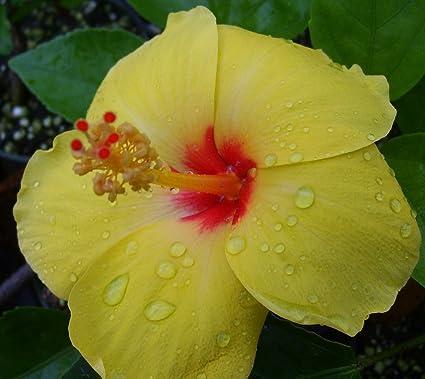 Amazon emeralds tm tropical hibiscus plant large golden yellow emeralds tm tropical hibiscus plant large golden yellow red throat single flower sanibel 4quot mightylinksfo