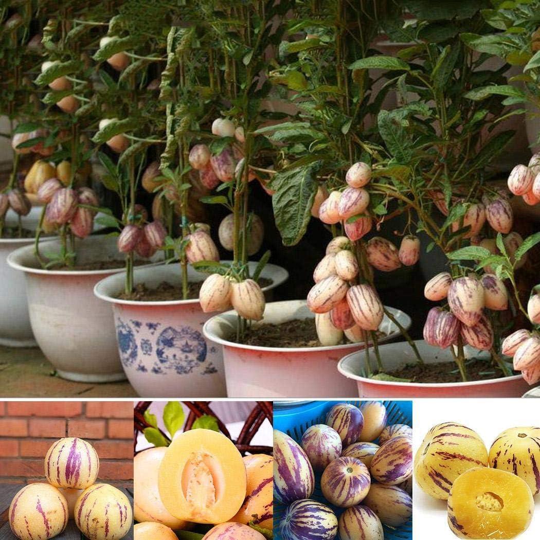 Ncient 20 pcs Semillas Melón Semillas Comestibles Frutas de Plantas Bonsai para Maceta Jardín Balcon Interior y Exteriores: Amazon.es: Jardín