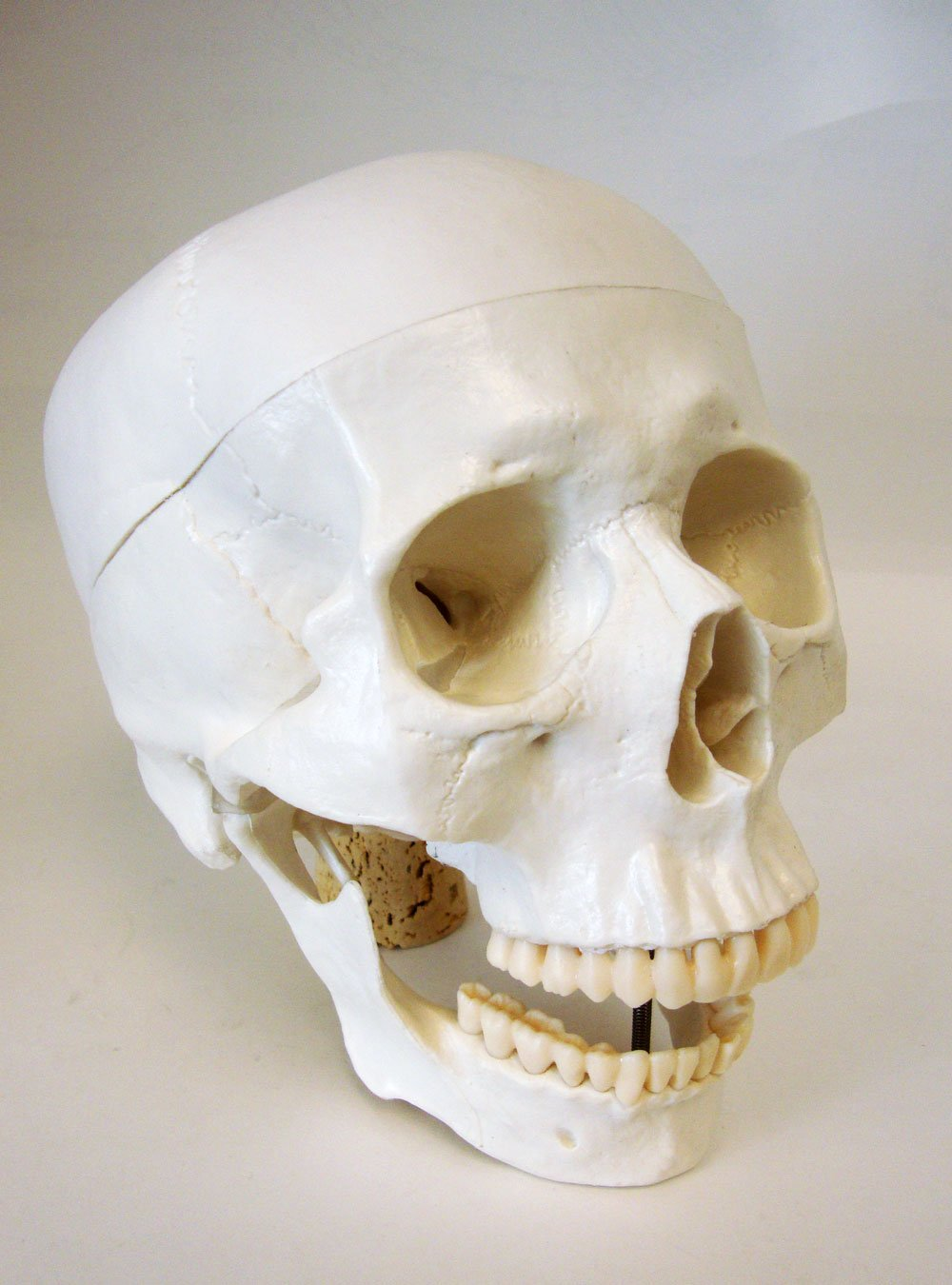 Amazon.com: Life Size Model Human Skull Anatomical Model: Industrial ...