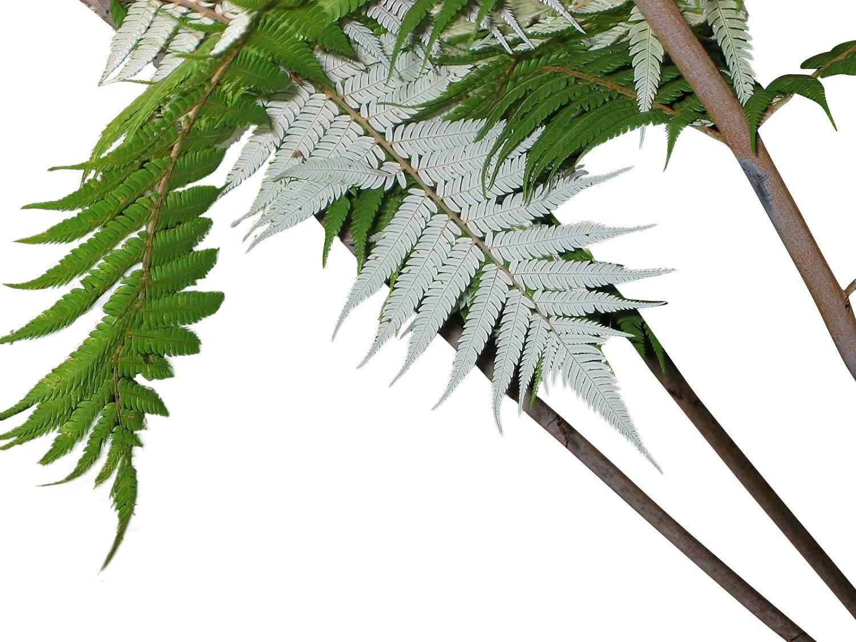 Silber-Baumfarn 25 Samen//Sporen Cyathea dealbata