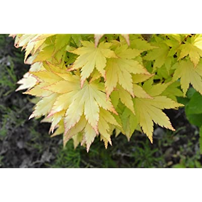 Summer Gold Japanese Maple- Best gold in summer - Does not burn in full sun 1 - Year Live Tree : Maple Trees : Garden & Outdoor