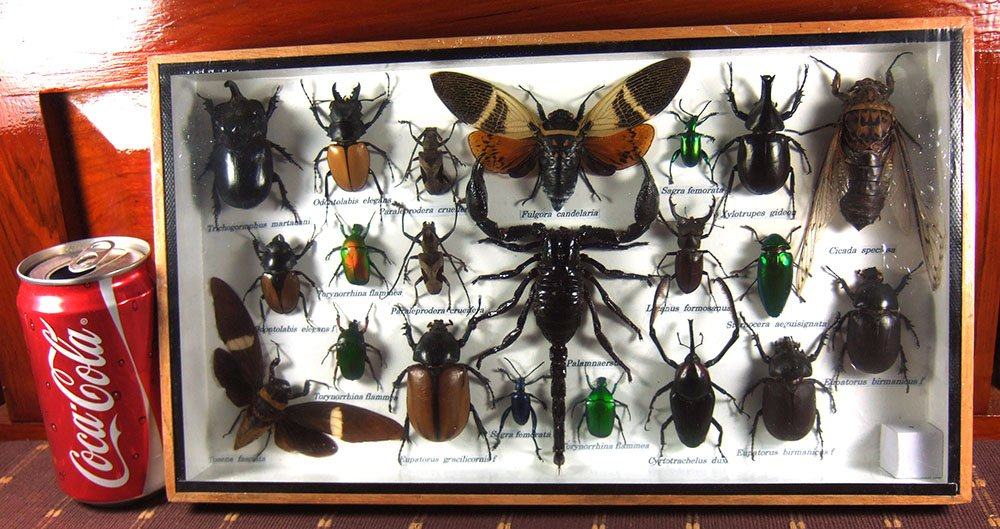 Real Display Insect Taxidermy Big Set in Box for Collectible Gift #02 by Thai Productz