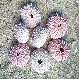 Garneck 4Pcs Natural Sea Urchin Shells Conch Shells for DIY Craft and Wedding Home Decor Plant Pot Pineapple Container(Random Color)