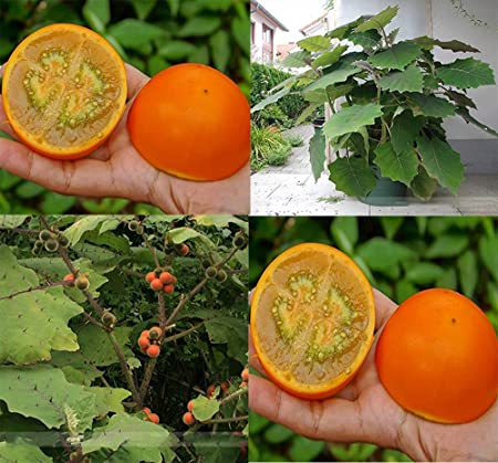 100 seeds Solanum quitoense seeds Lulo