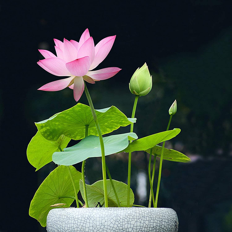 Nelumbo Nucifera Lotus pink Liveseeds Water Plant 5 fresh seeds