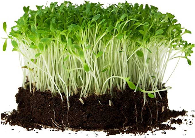 100,000 Buttercrunch lettuce seeds Microgreens Sprouts Organic Non GMO