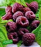"BALDUR-Garten Schwarze Himbeere""Glenn Coe"" 1 Pflanze Rubus idaeus Himbeerpflanze"
