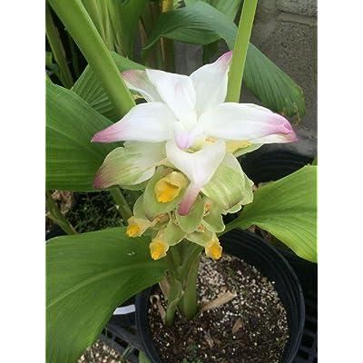 Giant Burmese Flowering Turmeric Curcuma Longa 3 Rhizomes for Growing/Planting : Garden & Outdoor