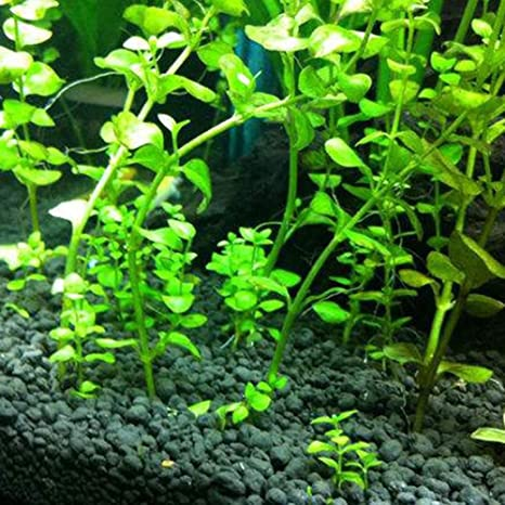 ZHOUBA - 50 semillas de acuario para acuario, hierba de agua, tortuga acuática,