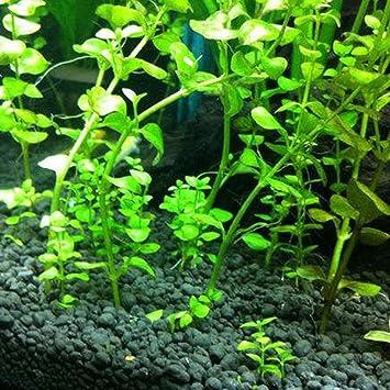 ZHOUBA - 50 semillas de acuario para acuario, hierba de agua ...