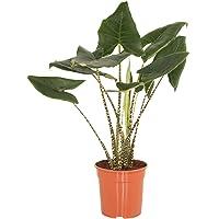 Planta de interior de Botanicly – Oreja de Elefante – Altura: 100 cm – Alocasia Zebrina