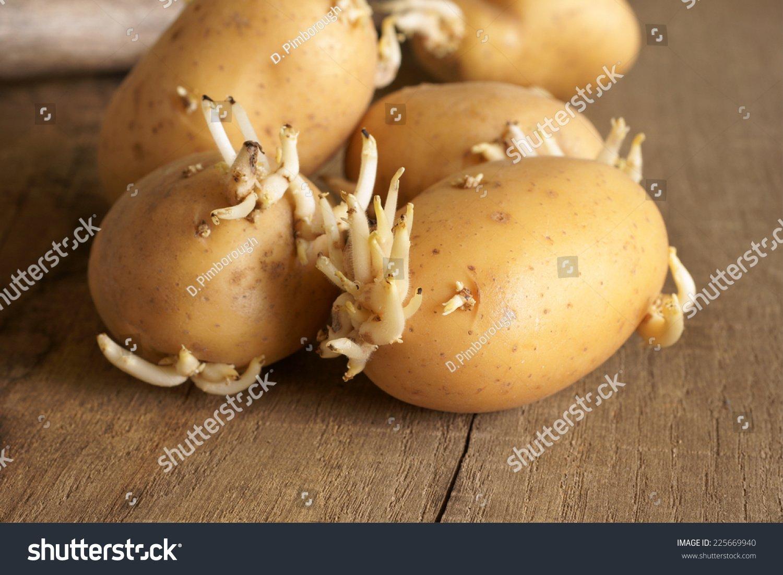 Simply Seed - 15 Piece Potato Seed - Organic Grown - German Butterballs - Non GMO - Spring Planting