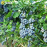 Organic Northern Highbush Blueberry Certified 100+ Seeds #2344 Item UPC#637632549135 self-fertile