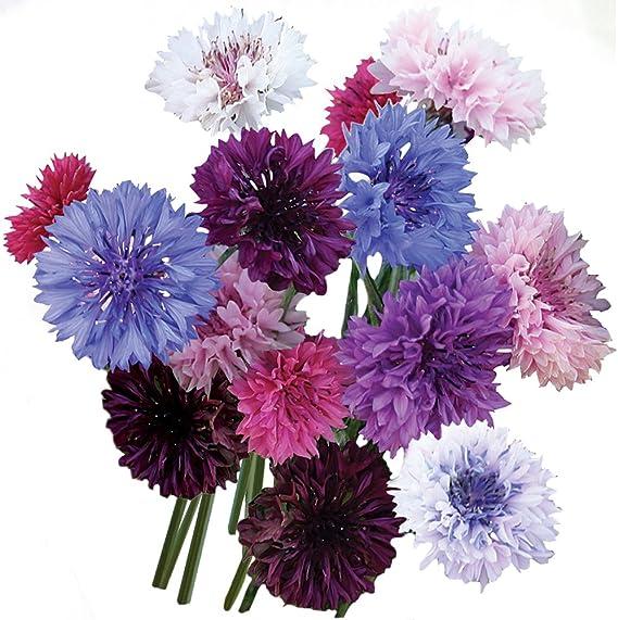 Amazon Com Burpee Tall Double Mixed Colors Cornflower Seeds 250 Seeds Garden Outdoor