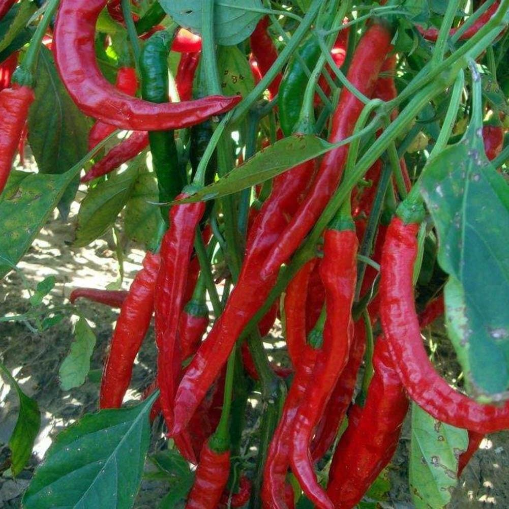 50Pcs Red Chili Seeds Home Garden Rare Giant Spices Spicy Red Chili Pepper Vegatable Plant Seeds